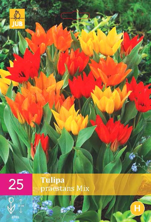 Tulipa 'Praestans Mix'  XXL - Tulp