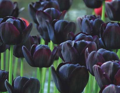Tulipa 'Queen of Night'  XXL - Tulp