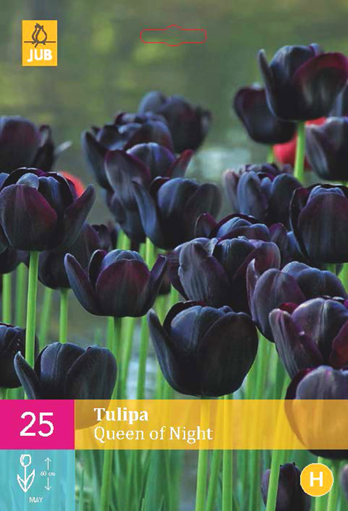 Tulipa 'Queen of Night'  XXL - Tulp