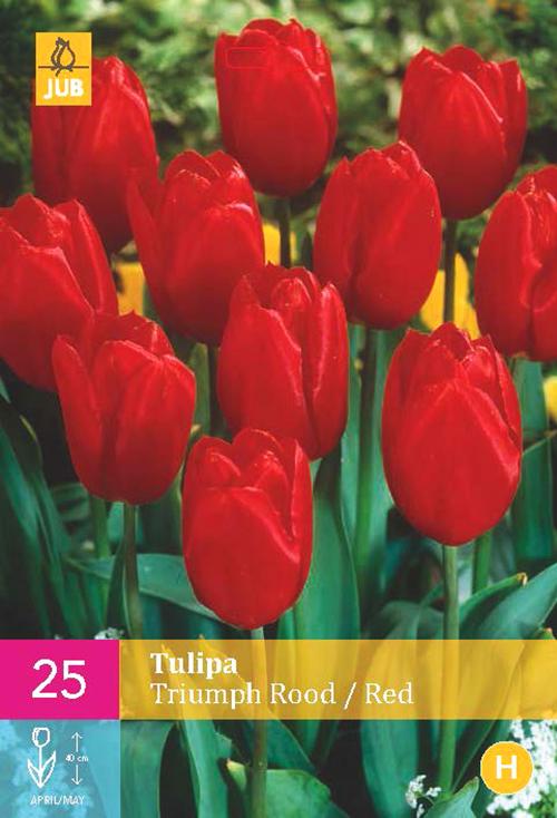 Tulipa 'Triumph Rood'  XXL - Tulp