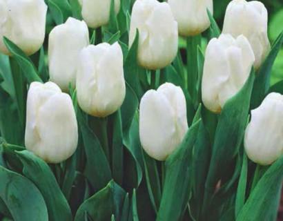 Tulipa 'Triumph Wit'  XXL - Tulp