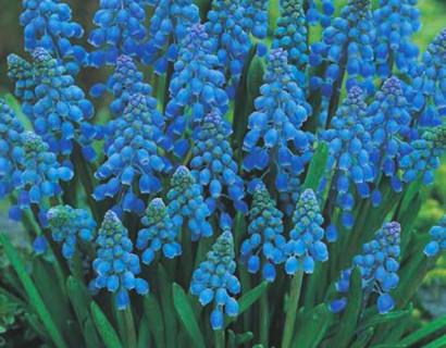 Muscari armeniacum  XXL - Blauw druifje