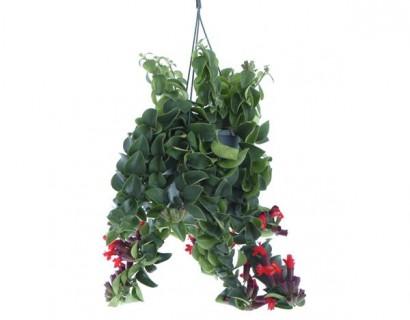 Aeschynanthus - Kokerplant