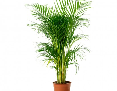 Areca lutescens - Kamerpalm