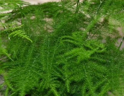 Asparagus - Sierasperge