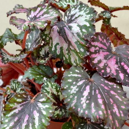 Begonia rex - Bladbegonia