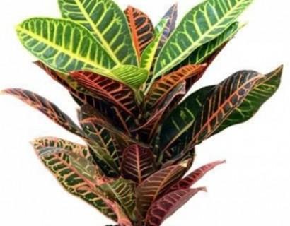 Codiaeum - Croton