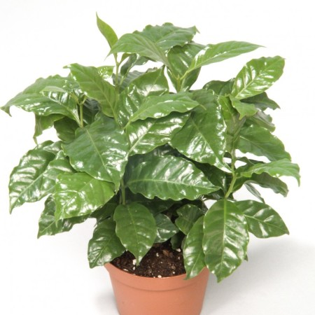 Coffea arabica - koffieplant /Koffieboom