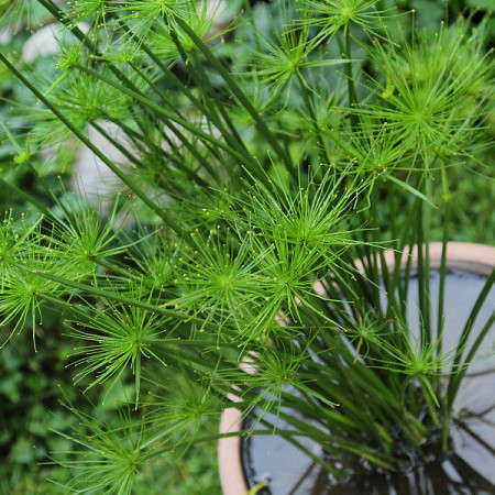 Cyperus haspan - Parapluplant