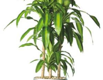 Dracaena fragrans - Drakenboom