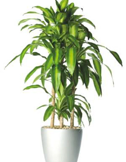 Dracaena fragrans - Drakenboom