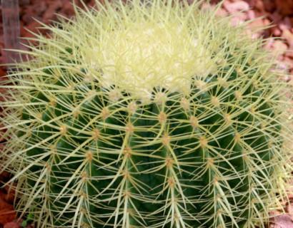 Echinocactus grusonii - Schoonmoederstoel