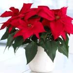 Kerstster of Poinsettia voor de échte kerstsfeer in huis.