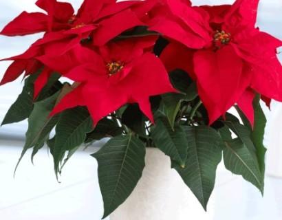 Euphorbia - Kerstster
