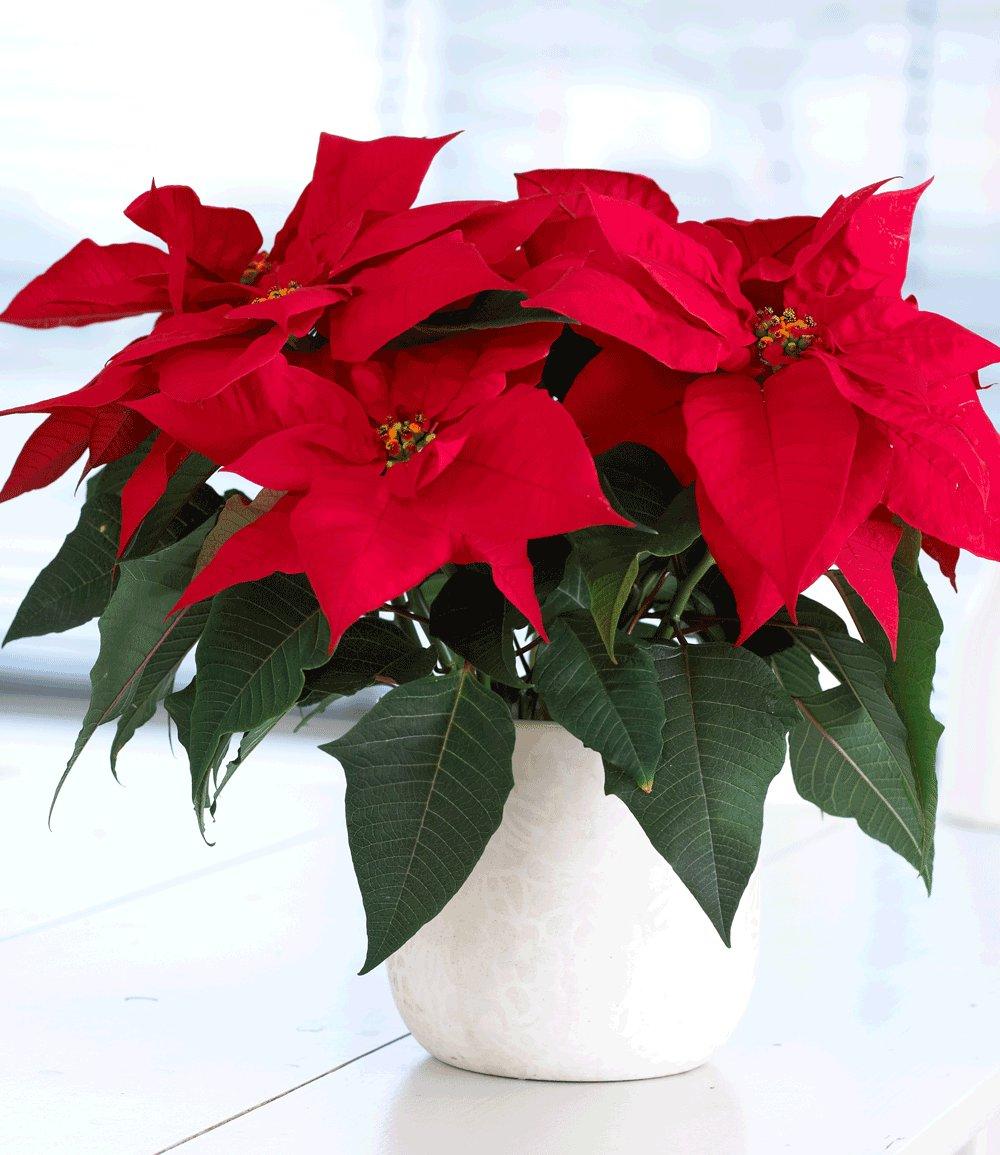 Euphorbia kerstster