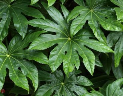 Fatsia japonica - Vingerplant