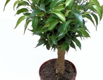 kamerplant kopen diverse soorten kamerplanten bij marechal. Black Bedroom Furniture Sets. Home Design Ideas