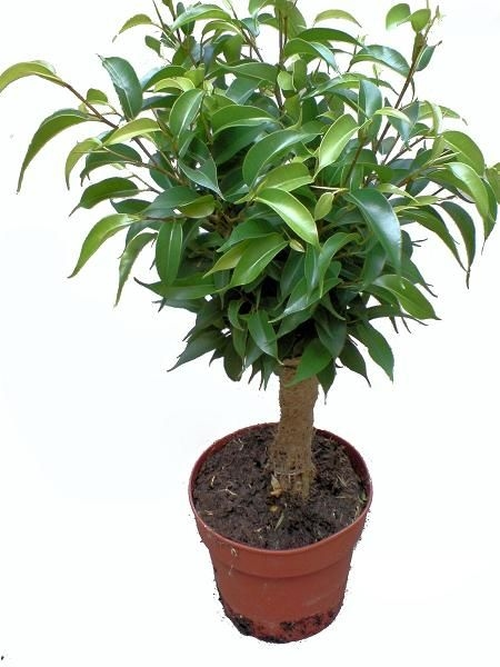 Ficus benjamina 'Natasja' - treurvijg