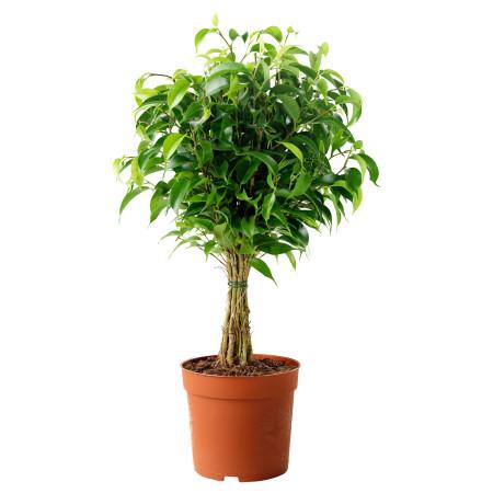 Ficus benjamina 'Exotica' - treurvijg