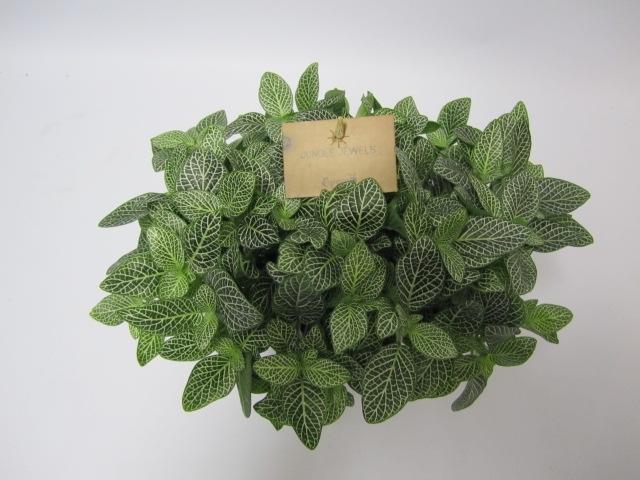 Fittonia 'Mont Blanc' - Slangenleerblad / Mozaiekplant