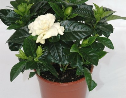 Gardenia jasminoides - Knoopsgatbloem / Kaapse Jasmijn