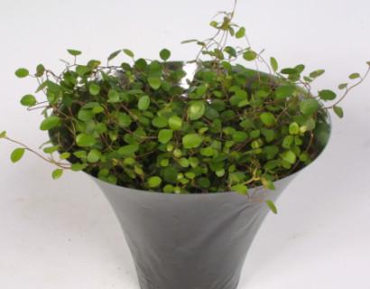 Muehlenbeckia complexa - Gatenplant