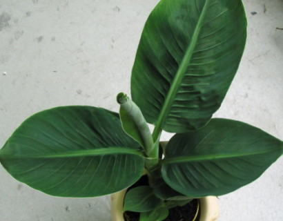 Musa 'Dwarf Cavendish' - Bananenplant
