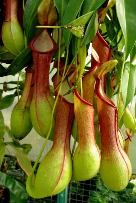Nepenthes - Bekerplant
