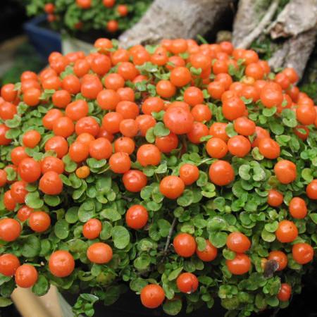 Nertera granadensis - koraalmosje