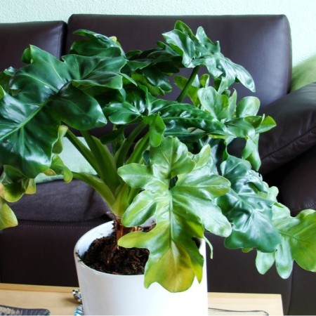Philodendron 'Atom' -