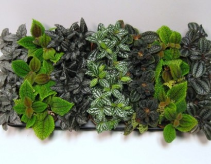 Pilea mix - Orchidee
