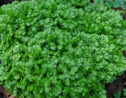 Selaginella apoda - mosplantje
