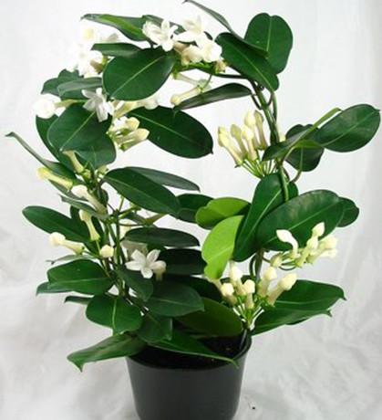Stephanothus floribunda - Bruidsbloem