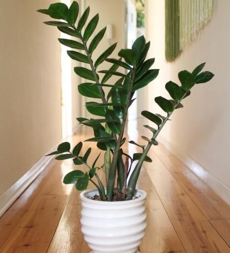 Zamioculcas zamiifolia -