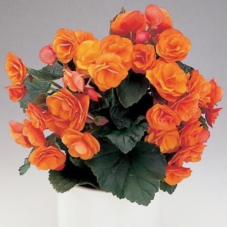 Begonia elatior -