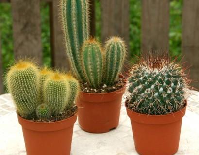 Cactus - Bladbegonia