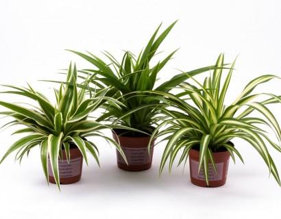 Chlorophytum - Graslelie