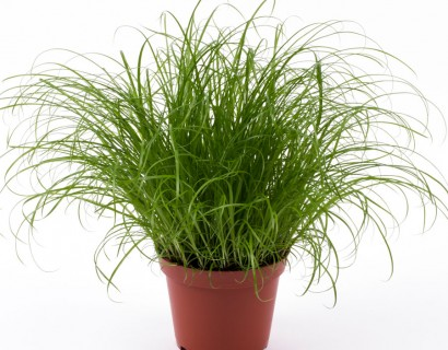 Cyperus alt. 'Zumula' - Kattengras