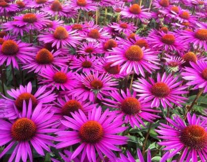 Wat is het verschil tussen vaste planten en heesters?