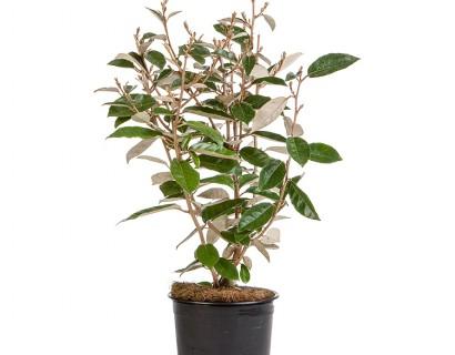 olijfwilg Elaeagnus ebbingei pot 3 liter 40/50 cm