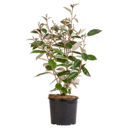olijfwilg Elaeagnus ebbingei pot 3 liter