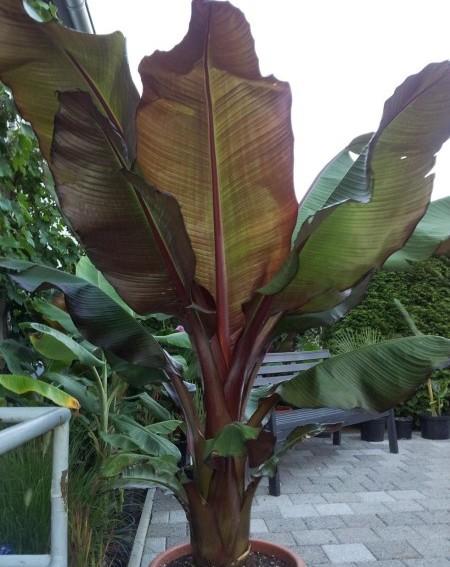 Ensete ventricosum 'Maurelii' - Bananenplant