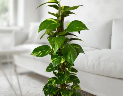 Epipremnum of Scindapsus - Bananenplant