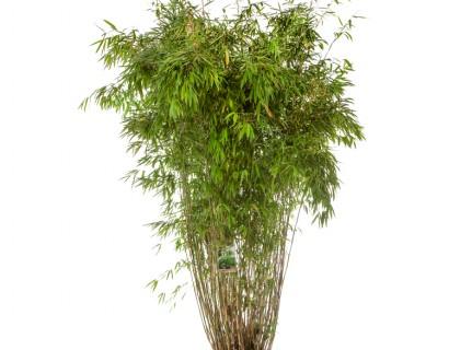 Fargesia murieliae 'Superjumbo' 175/200 cm - bamboe