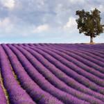 Mooie Lavendel , 0.50 euro echt goedkoop! (momenteel niet voorradig)