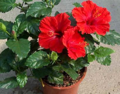 Hibiscus rosa-sinensis - kamerhibiscus / Chinese roos-Hibiscus