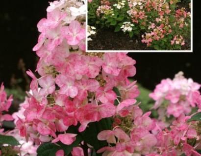 Hydrangea paniculata 'Melange' - pluimhortensia