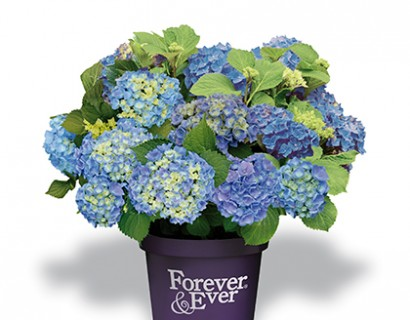 Hydrangea macrophylla 'Forever and Ever' blauw