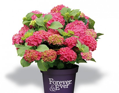 Hydrangea macrophylla 'Forever and Ever' rood