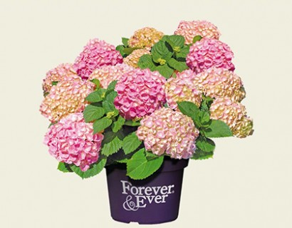 Hydrangea macrophylla 'Forever and Ever' roze
